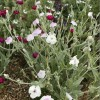 Lychnis coronaria 'Angel's Blush' (Rose campion 'Angel's Blush')