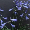 Agapanthus 'Blue Dot' (African lily 'Blue Dot')