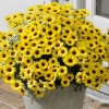 Argyranthemum 'Grandaisy Bright Yellow' (Grandaisy Series) (Marguerite daisy 'Grandaisy Bright Yello