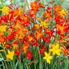 Crocosmia (any variety) (Montbretia (any variety))