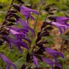 Salvia (any tender or borderline hardy perennial variety) (Sage (any tender or borderline hardy pere