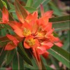 Euphorbia griffithii (any variety) (Griffith's spurge (any variety))