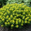 Euphorbia (any hardy, deciduous perennial) (Spurge (any hardy, deciduous perennial))