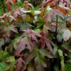 Acer campestre 'Red Shine'