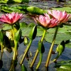 Nymphaea 'Albert Greenberg' (Waterlily 'Albert Greenberg')
