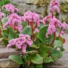 Bergenia (any variety) (Elephant ears (any variety))