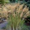Stipa (any evergreen variety)