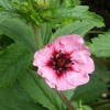 Potentilla (any perennial variety)