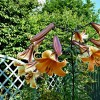 Lilium African Queen Group (Lily African Queen Group)