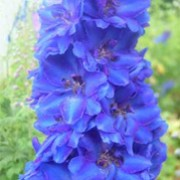 'Faust' is a perennial with an erect habit.  Its divided foliage is dark-green.  In summer it bears erect racemes of dark-eyed, dark-blue and purple, semi-double flowers. Delphinium 'Faust' added by Shoot)