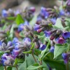 Pulmonaria angustifolia (Blue cowslip)