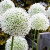 Allium stipitatum 'White Giant' (Allium 'White Giant')