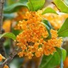 Osmanthus fragrans f. aurantiacus (Fragrant orange olive)