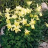 Aquilegia 'Spring Magic Yellow' (Spring Magic Series) (Columbine 'Spring Magic Yellow')