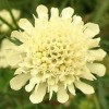 Scabiosa columbaria subsp. ochroleuca 'Moon Dance' (Pale yellow scabious 'Moon Dance')