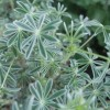 Lupinus 'Silver Fleece' (Lupin 'Silver Fleece')