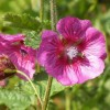 Anisodontea 'Large Red' (Cape mallow 'Large Red')