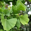 Ginkgo biloba 'Golden Gate' (Maidenhair tree 'Golden Gate')