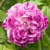 Rosa 'Commandant Beaurepaire' (Rose 'Commandant Beaurepaire')