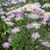 Aster amellus 'Sonora' (Italian aster 'Sonora')