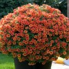 Calibrachoa 'Can-can Orange' (Can-can Series) (Mini petunia 'Can-can Orange')