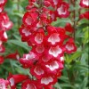 Penstemon 'Partybells Red'