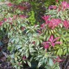 Pieris 'Forest Flame' (Pieris 'Forest Flame')