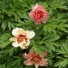 Paeonia 'Magical Mystery Tour' (Peony 'Magical Mystery Tour')