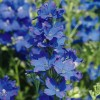 Delphinium grandiflorum 'Diamonds Blue' (Delphinium 'Diamonds Blue')