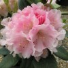 Rhododendron 'Doc' (Rhododendron 'Doc')