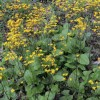 Packera aurea (Golden groundsel)