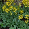 Packera obovata (Round-leaved ragwort)