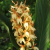 Hedychium densiflorum 'Stephen' (Hardy ginger lily 'Stephen')