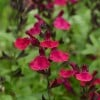 Salvia 'Mirage Burgundy' (Mirage Series)