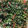 Photinia x fraseri 'Red Robin' (Christmas berry 'Red Robin')