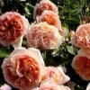 Rosa 'Abraham Darby' (Rose 'Abraham Darby')
