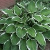 Hosta fortunei (any variety) (Tall-cluster plantain lily (any variety))