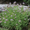 Monardella odoratissima (Mountain coyote mint)