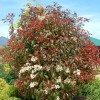 Photinia x fraseri (any variety) (Christmas berry (any variety))