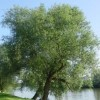 Salix x fragilis (Crack willow)