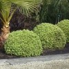 Pittosporum tenuifolium 'Beach Ball' (Pittosporum 'Beach Ball')