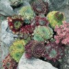 Sempervivum (any variety) (Houseleek (any variety))