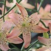 Lilium 'Corsage' (Lily 'Corsage')