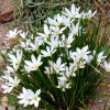 Zephyranthes candida (Peruvian swamp lily )