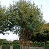 Prunus serrula 'Branklyn' (Tibetan cherry 'Branklyn')