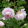 Rosa spinosissima (any variety) (Burnet rose (any variety))