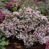 Andromeda polifolia (any variety) (Bog rosemary (any variety))