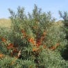 Hippophae rhamnoides (any variety) (Sea buckthorn (any variety))