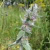 Stachys germanica (Downy Woundwort)