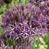Allium 'Metallic Shine' (Allium 'Metallic Shine')